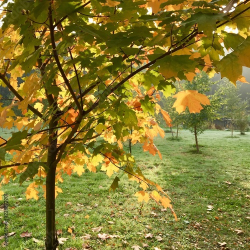Érable à sucre, feuillages en automne
