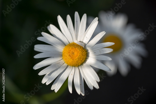 In de dag Madeliefjes chamomile on the white background