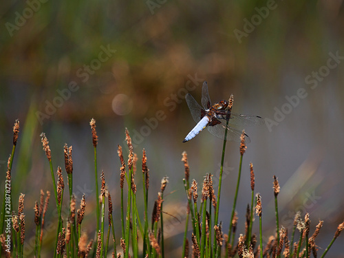 Male Broad Bodied Chaser dragonfly on sedge grass