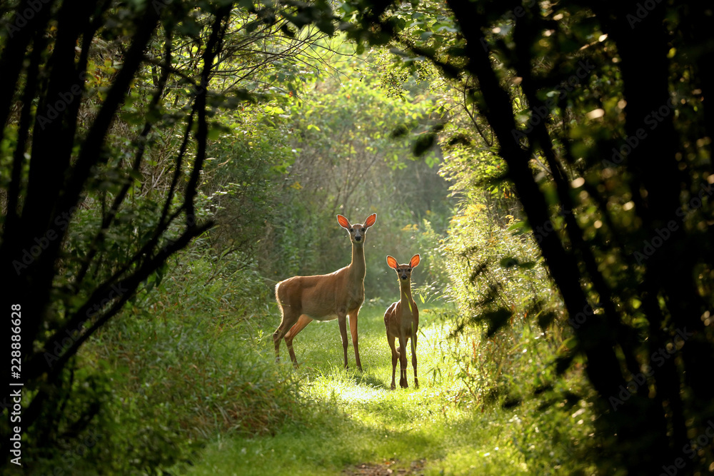 Fototapeta White tailed deer fawn witj hind on natural trail in north Wisconsin.