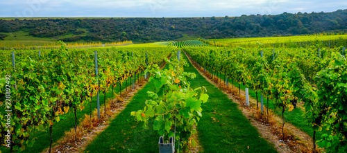 Foto auf Gartenposter Weinberg Sussex, england, united kingdom, wine growing region, looking down three rows of grape vines in a vineyard with lines of ripe red grapes on the vines, green grass is in the middle