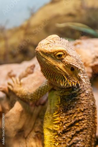 Fototapeta premium Piękny Lizard Bearded Agama, Pogona vitticeps