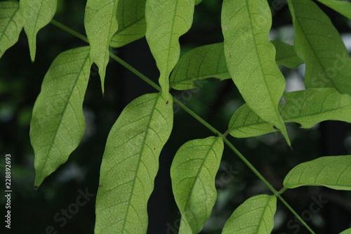 Fotografering  Dettagli di foglie verdi