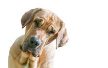 """Bettelndes Gesicht Eines Hundes """"Broholmer"""", Weißer Hintergrund"""