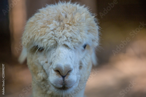 Staande foto Lama close up of the head of a white llama, ideal for postcard or background