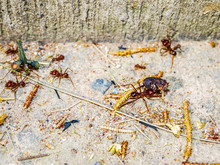 Group Of Red Ants Carrying An ...
