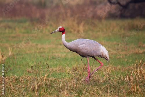 Fotografie, Obraz  Sarus crane (Grus antigone) in Keoladeo Ghana National Park, Bharatpur, Rajastha
