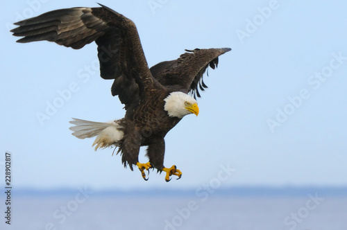 Poster Eagle Scooping down to nail a fish