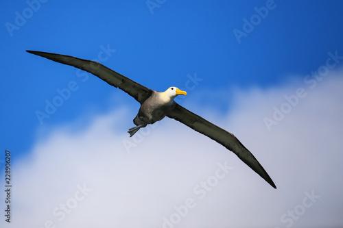 Fényképezés  Waved albatross in flight on Espanola Island, Galapagos National park, Ecuador