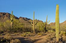 Saguaro Cactus In Rocky Mountainous Desert