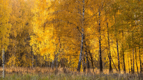 Photo Fall season in a birchwood