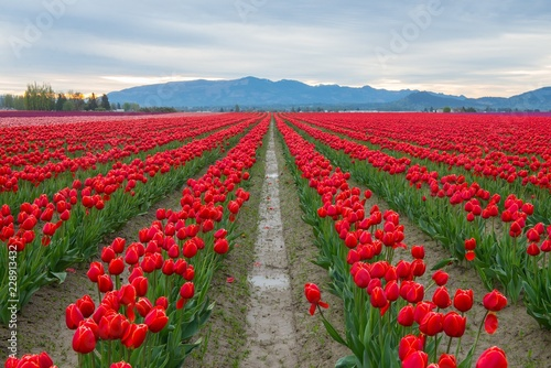 Rows of red tulips in Washington state