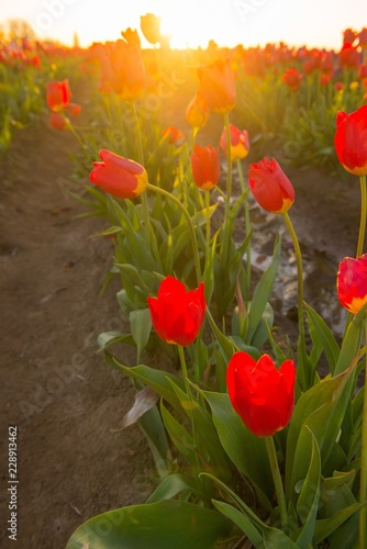 Photo  Close up of red tulips from a low perspective at sunrise