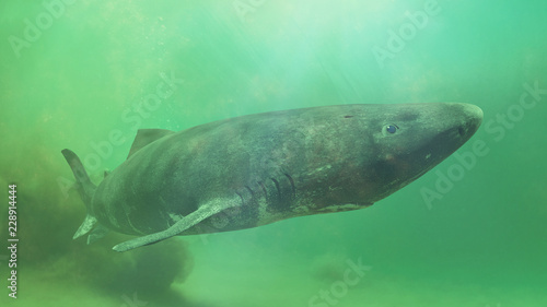 Photo Greenland shark near the ocean ground, Somniosus microcephalus - shark with the