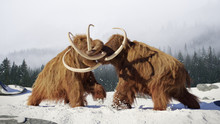 Woolly Mammoth Bulls Fighting,...