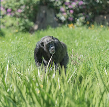 Chimpanzee In Grass