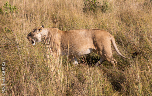 Deurstickers Afrika Female lion, leo panthera, hunting in the tall grass of the Maasai Mara in Kenya, Africa
