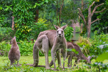 Kangaroo Family On The Green Lawn. Eastern Kangaroos In The Wild. Baby Kangaroo And His Mom. Kangaroo Looks At Camera