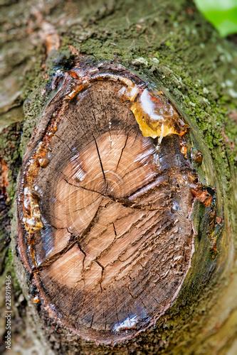 Tree Sap Oozing