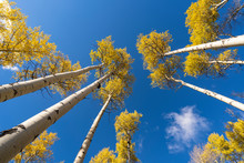 Beautiful Tall Birch Tress In A Forest