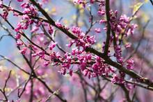 Redbud Blooming In Iowa