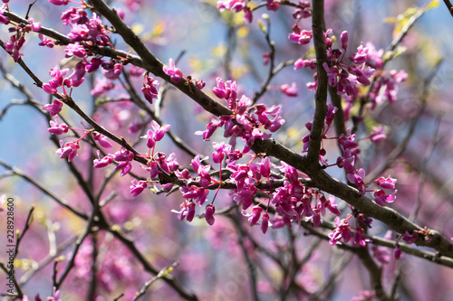 Fotografie, Obraz  Redbud Blooming in Iowa