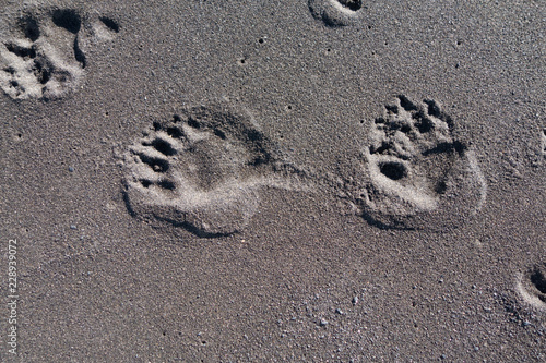 Fotografie, Obraz  Bear paw prints in the sand, Lost Coast, California
