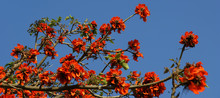 Beautiful Flamboyant Tree (Royal Poinciana Or Delonix Regia  ) Is A Species Of Flowering Plant From The Fabaceae Family, Caesalpinioideae Subfamilia