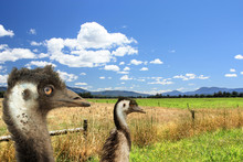 Two Emus Head View