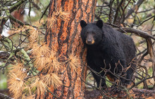 A Large Mother Black Bear Sow In A Tree
