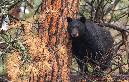 Photo A Large Mother Black Bear Sow In a Tree