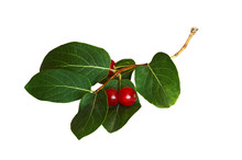 Twig With Green Leaves And Red Berries