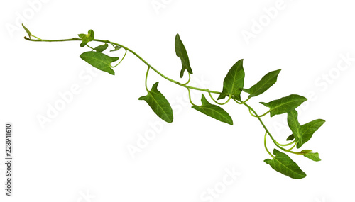 Fotografía Sprig of fresh bindweed with green leaves