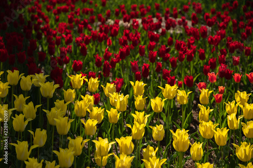 Pattern of Red Tulips in the flower field at Hitachi Seaside Park, Ibaraki, Japan