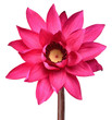 canvas print picture - Red Lotus flower isolated on white clipping path