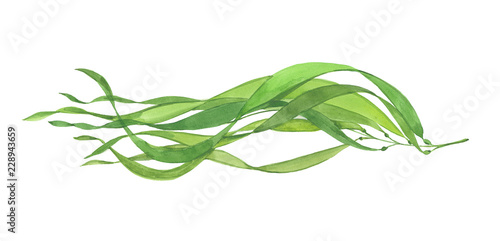 Photo watercolor beautiful seaweed