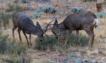 Two Young Mule Deer Bucks Sparring For Dominance