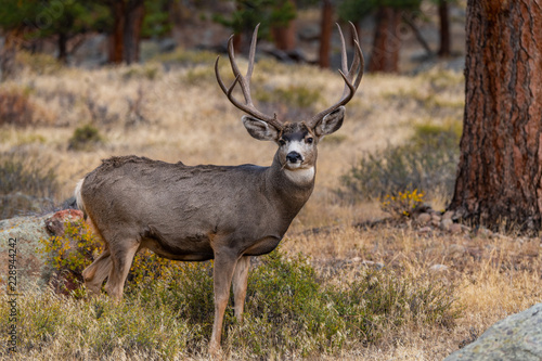 Fotografie, Obraz  A Large Mule Deer Buck Searching for Food in the Mountains