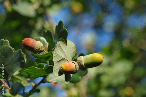 Eicheln Früchte an einem Baum