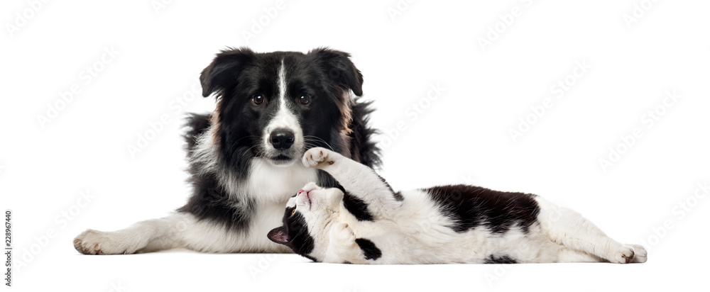 Border Collie, Mixed breed cat, in front of white background
