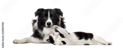 fototapeta na drzwi i meble Border Collie, Mixed breed cat, in front of white background
