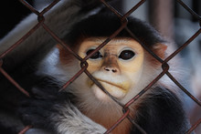 Close-up Of Monkey Face In Animal Cage Feeling Bored In Zoo,Bangkok Thailand