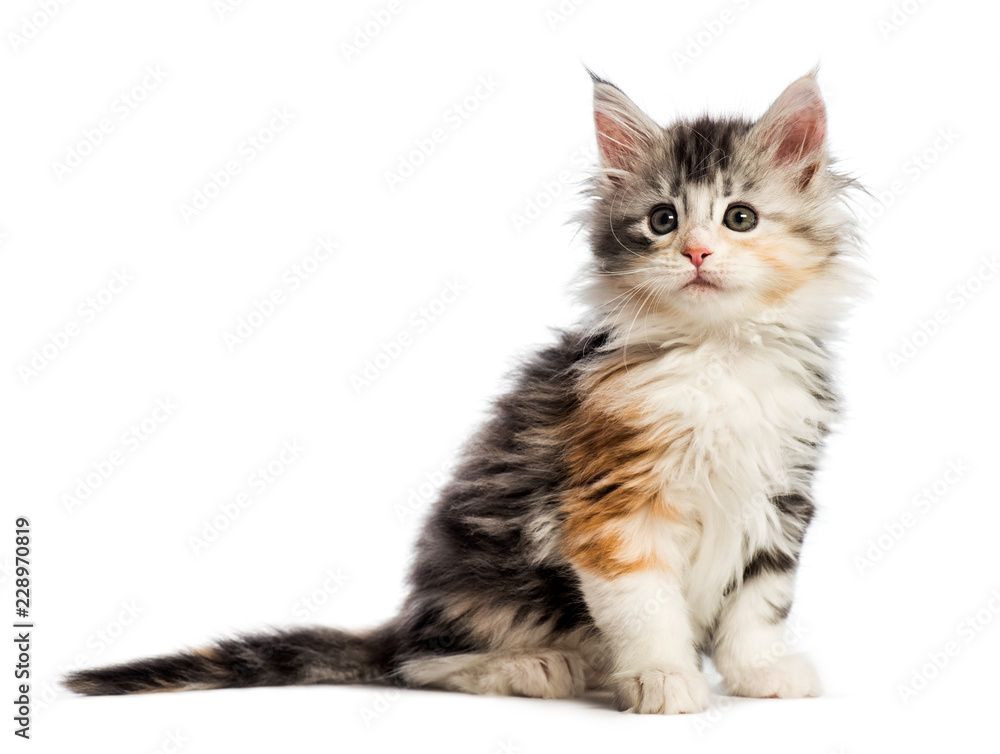 Fototapeta Maine coon kitten, 8 weeks old, in front of white background