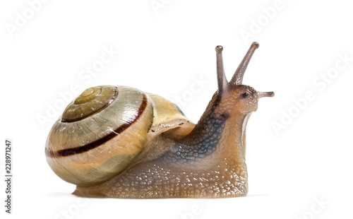 grove snail or brown-lipped snail, Cepaea nemoralis, in front of