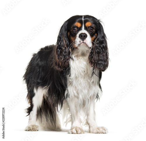 Cuadros en Lienzo Cavalier King Charles Spaniel, 2 years old, in front of white background