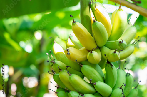 Foto Bunch of bananas ripe with both yellow and green on the banana tree in the garden background