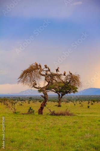 Acacia tree in the open savanna mara kenya Wall mural