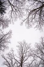Tree Crowns In Winter Leafless In Misty Forest