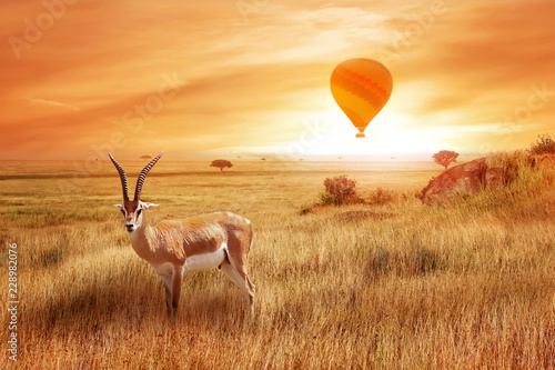 Lonely antelope (Eudorcas thomsonii) in the African savanna against a beautiful sunset with balloon. African landscape. Wild life of Africa.