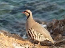Partridge Hen Alectoris Chukar: Birds Of Greece